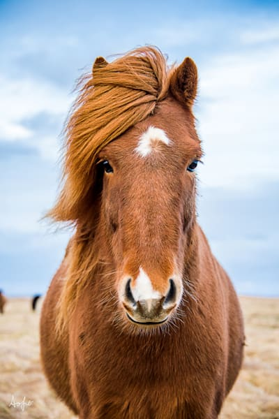Art photographs of Iceland Horses