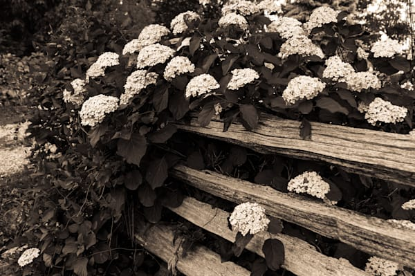 Black & white floral photograph of Hydrangeas on a Cedar fence | For Sale as Fne Art | Sage & Balm Photography