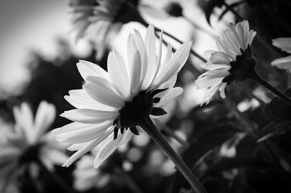 White daisies floral photograph in black & white for sale as fine art | Sage & Balm Photography
