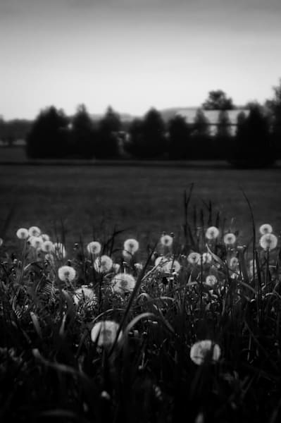 Black & white photograph of dandelions in a rural field for sale as fine art by Sage & Balm