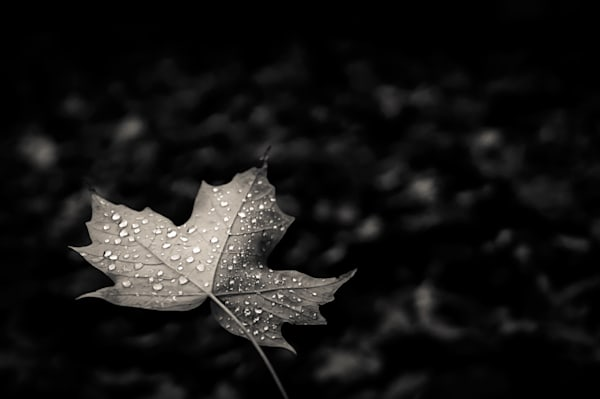 Black & white photograph of dew drops on a maple leaf for sale as fine art by Sage & Balm