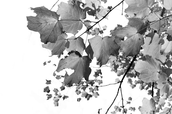 Abstract black & white photograph of maple leaves for sale as fine art by Sage & Balm