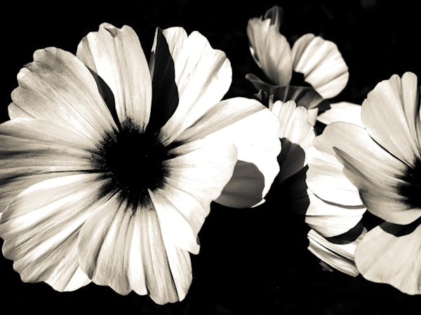 Black and white cosmos flowers in abstract by Sage & Balm