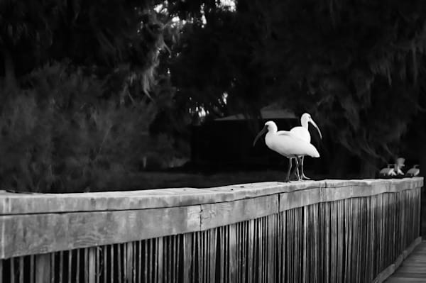 Black & white wildlife photograph of a pair of white Ibis on a Florida bridge, for sale as fine art by Sage & Balm