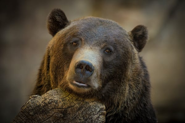 Photographic Prints of Grizzly Bear at the Denver Zoo