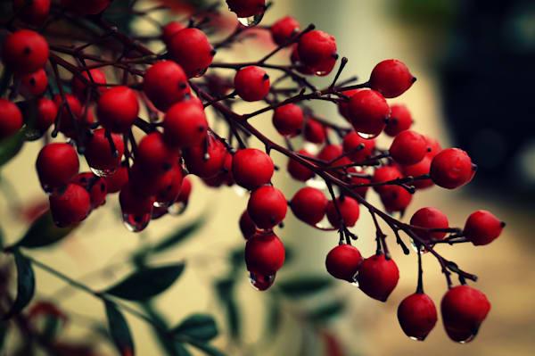 Brilliant Berries Photography Art   Sage & Balm Photography