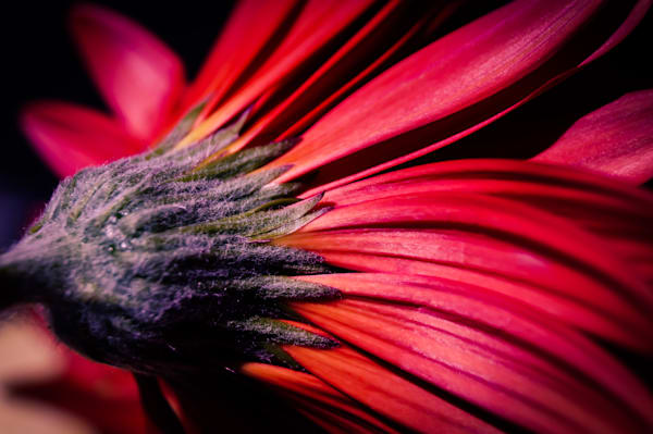 Abstract floral photograph of a red Gerbera daisy, for sale as fine art by Sage & Balm