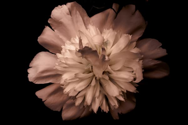Floral photograph of a moody, light pink peony and black background, for sale as fine art by Sage & Balm