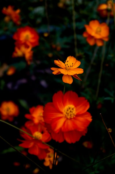 Floral photograph of bright orange colored cosmos flowers, for sale as fine art by Sage & Balm