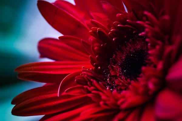 Floral macro photograph of a brightly colored, red gerbera daisy, for sale as fine art by Sage & Balm