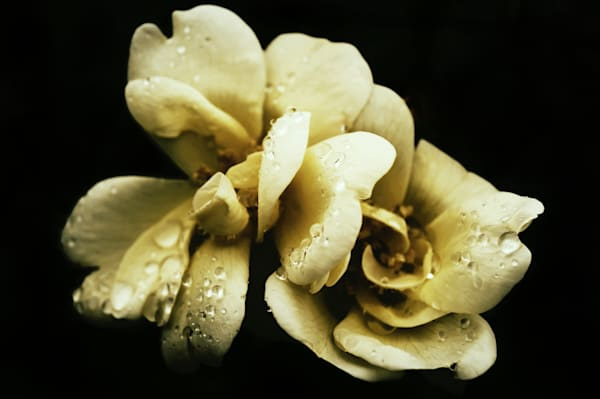 Macro floral art photograph of a muted yellow rose covered in raindrops, for sale as fine art by Sage & Balm