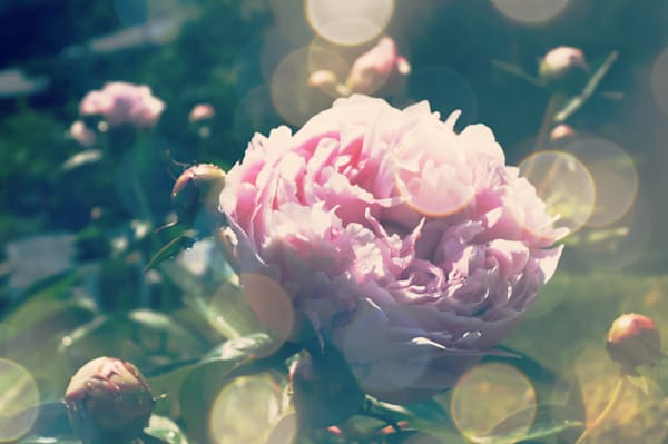 Floral photograph of pink peonies and romantic bokeh, for sale as fine art by Sage & Balm