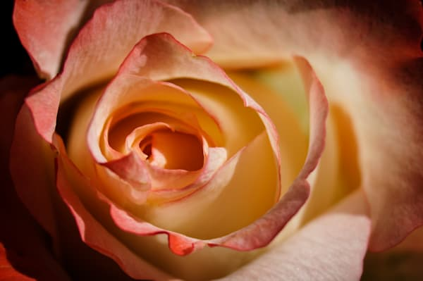 Floral macro photograph of a stunning pastel-colored rose, for sale as fine art by Sage & Balm
