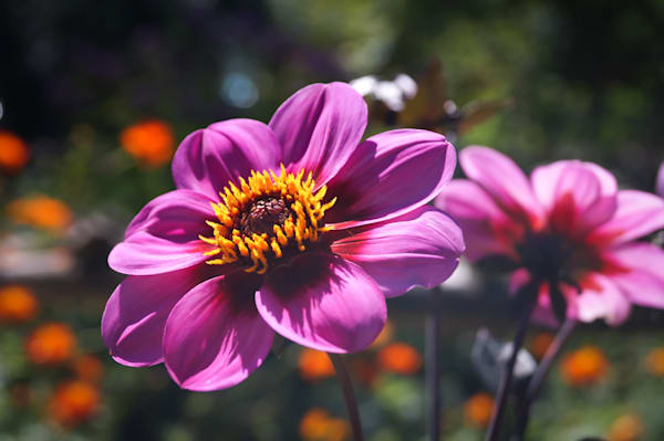 Floral photograph of bright pink Dahlia flowers, for sale as fine art by Sage & Balm