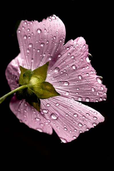 Macro floral photograph of a pink mallow flower, covered in rain drops, for sale as fine art by Sage & Balm