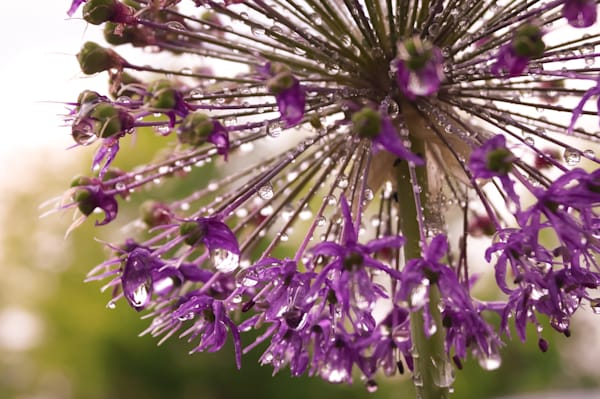 Abstract floral photograph of a purple star-burst alium flower covered in raindrops, for sale as fine art by Sage & Balm