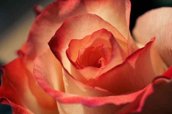 Macro floral photograph of a pink, coral, and white rose, for sale as fine art by Sage & Balm
