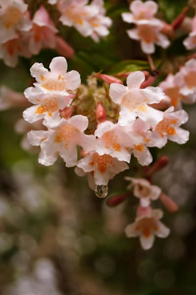 Pink and peach color floral photograph of Abelia Honeysuckle blossoms and raindrops, for sale as fine art by Sage & Balm
