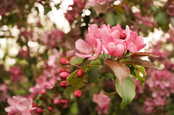 Floral photograph of bright pink cherry blossoms and buds in spring, for sale as fine art by Sage & Balm