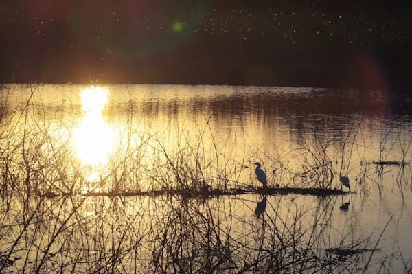 Heron At Sunset Photography Art | Sage & Balm Photography