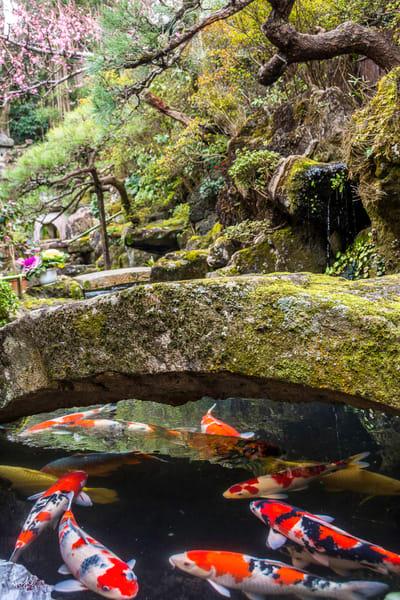 orange and white koi under bridge in japanese garden