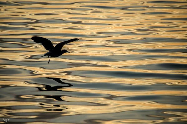 Silhouette of bird flying over gold ripples of water
