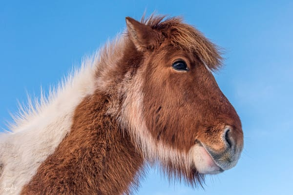 Brown and white Icelandic horse from below with blue sky above, photograph art print