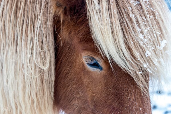 close-up of brown Icelandic horse from profile with snow on mane in art photograph