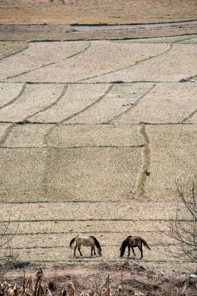 pair of horse from above in a barley field
