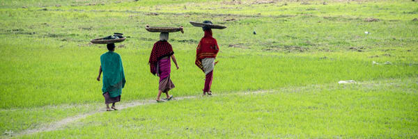 photograph of 3 women with baskets on head walking in green rice field, panorama art