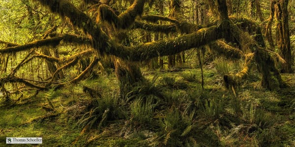 Giant Maples of the Pacific Northwest Hoh rainforest/Olympic National Park fine art nature photography decor prints