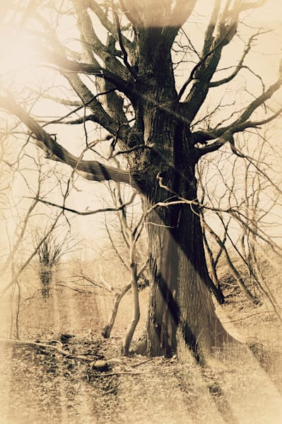 Sepia toned surreal abstract & conceptual fantasy photograph of light-rays filtering through an old, gnarled oak tree, for sale as fine art by Sage & Balm