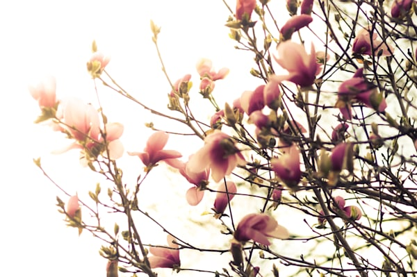 Floral photograph of pink blossoms on a magnolia tree in spring, for sale as fine art by Sage & Balm