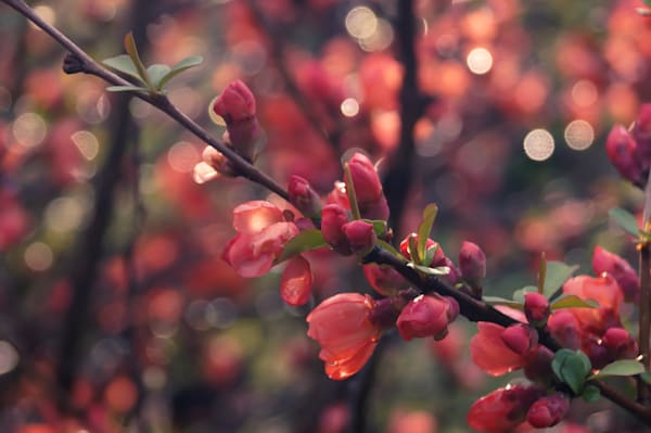 Floral photograph of coral quince blossoms and bokeh, for sale as fine art by Sage & Balm