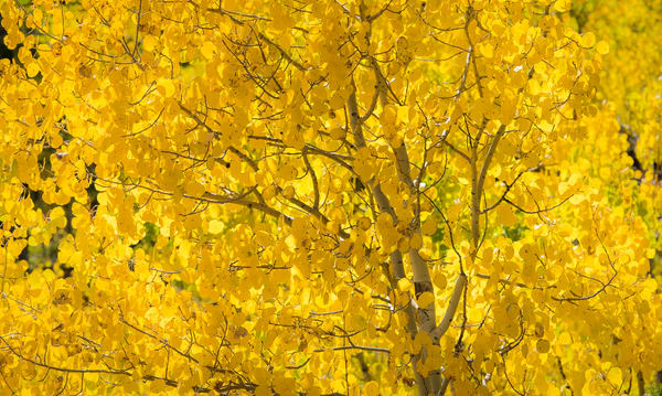 Photo Colorado Aspen Tree's Vibrant Golden Yellow Leaves