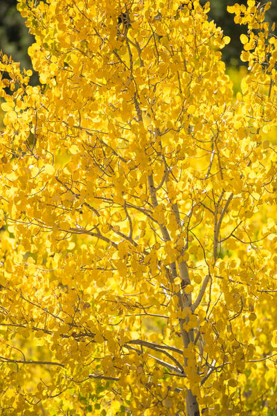 Vertical Photograph Colorado Aspen Tree in Autumn