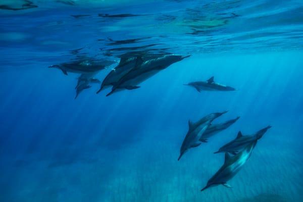 """""""Spinner Dolphin Pod"""""""