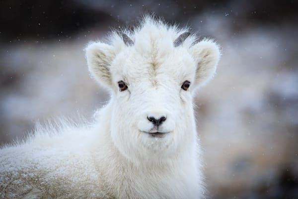 Baby Dall Sheep