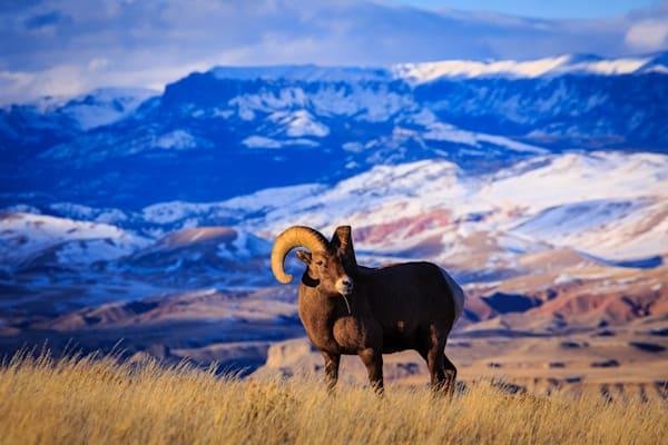 Whiskey Mountain Ram