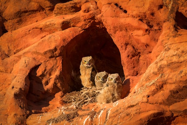 Red Rock Owlets