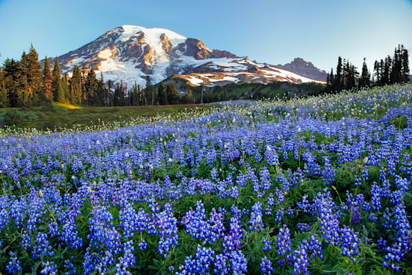 Rainier Lupine Photograph for Sale as Fine Art