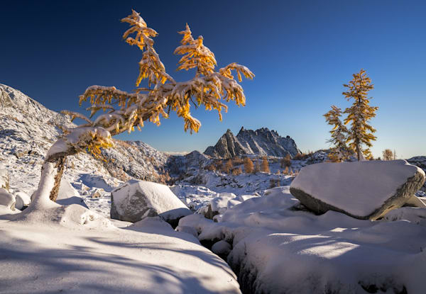 Leaning Larch Photograph for Sale as Fine Art