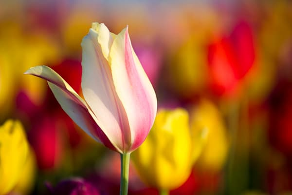 Tulip Detail Photography Art | Light and Impressions LLC