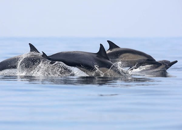 """""""Dolphins at Play"""""""