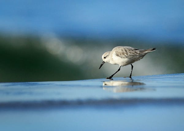 """Sanderling Morning"""