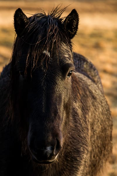 Black Icelandic horse bathed in warm morning light, in fine art photograph