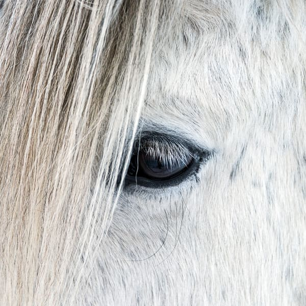 Fine art photograph of close-up of eye on white Icelandic horse