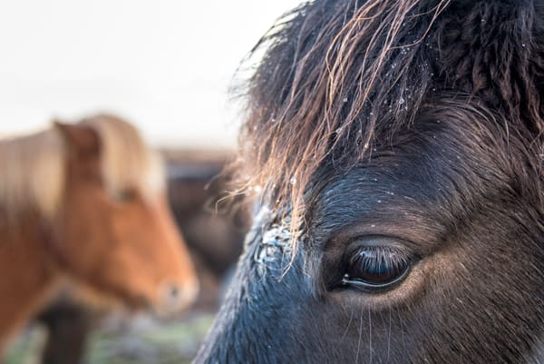 Black horse with water droplets on mane with two horses in background, photograph art print