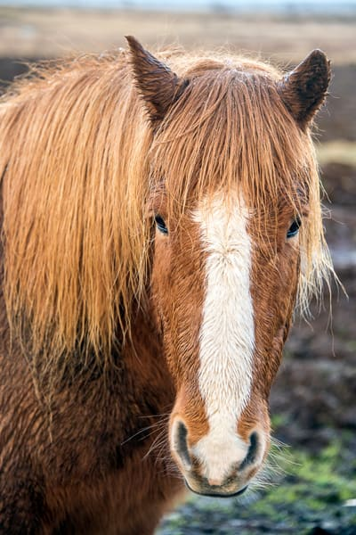 Brown Icelandic horse with thick mane and white stripe on face in art photograph