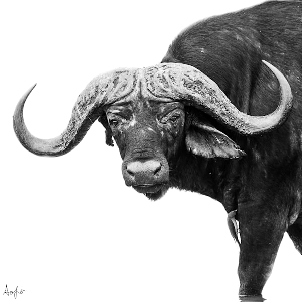 African buffalo facing camera with white background